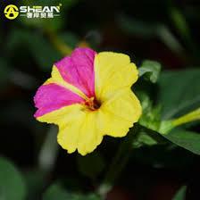 Fragrant Jasmine Plant - discount fragrant jasmine plants 2017 fragrant jasmine plants on