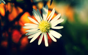yellow daisy wallpapers daisy flower wallpaper wallpapers browse