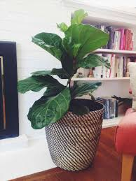 tropical house plants tropical indoor plants with pots leafed