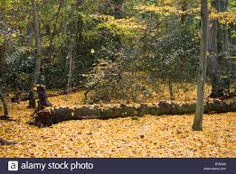 autumn yellow carpet of leaves blowing falling from trees in wind