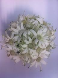 australian native plants sydney native flannel flower bouquet flowers of sydney