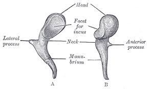 The Human Body Picture Ear Bones In The Human Body Bones Of The Ear Learn Bones