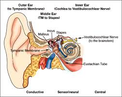 Ear Anatomy And Function Hearing Loss In Children Articles Pediatrics In Review