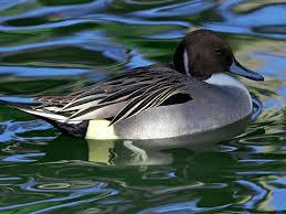 free stock photo of swimming duck animals