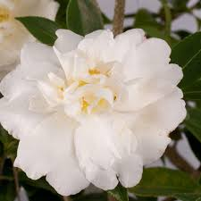 southern living plant collection 2 gal diana camellia sasanqua