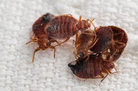 What Do A Bed Bug Look Like What Do Bed Bugs Look Like And Where Do They Live