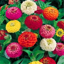 Zinnias Flowers Online Get Cheap Zinnias Flower Aliexpress Com Alibaba Group