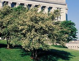 trees with white flowers flowering trees mdc discover nature