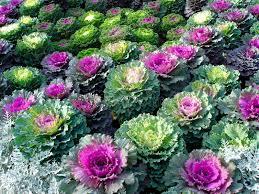 ornamental kale royalty free stock image image 6425376