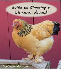 guide to choosing chicken breeds pick the best breeds for your