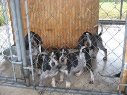 bluetick coonhound lab mix puppies for sale backwoods bluetick kennels orlando fl georgia