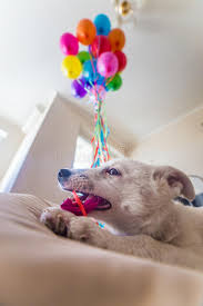 balloons for him white puppy with black spots puppy burst balloon and chews