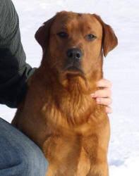 labrador retriever puppies sale chocolate labs sale
