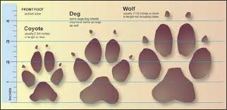 comparison of coyote and wolf paw prints source