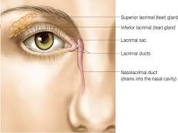 Surface Anatomy Eye Eyelids Anatomy Eyelids Are Thin Movable Curtains Composed Of