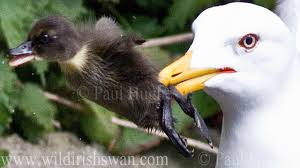 seagull swallows baby duck in one gulp youtube