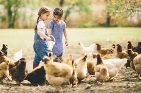top tips on how to feed your chickens pets4homes
