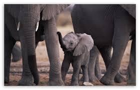 apple wallpaper elephant cute baby elephant 4k hd desktop wallpaper for 4k ultra hd tv