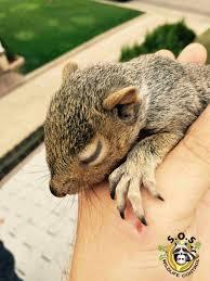 squirrel removal sos wildlife control