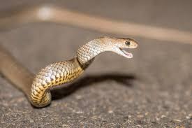 snake catchers sydney snakes in the city