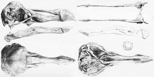 file oxford dodo skull jpg wikimedia commons