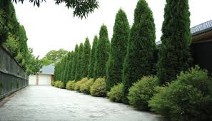 smaller ornamental trees mitre 10