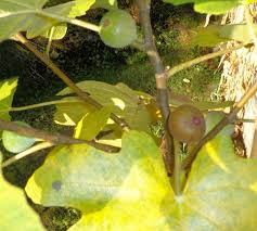 100 cold climate fruit trees orange best u0027s seedless