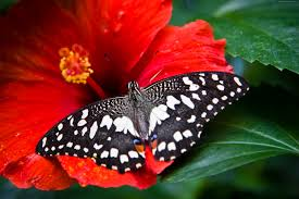 wallpaper butterfly bright hibiscus bloom animals 3503