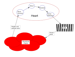 heart of fish diagram articles physiological reviews organ anatomy