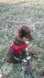 south dakota australian shepherd rescue rosie red tri australian shepherd dogs pinterest red tri