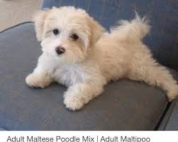 haircutsfordogs poodlemix pin by lucy on cockapoo dream dog pinterest pup dog and small