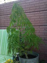 chambre culture cannabis complete chambre chambre de culture complete cannabis luxury led horticole