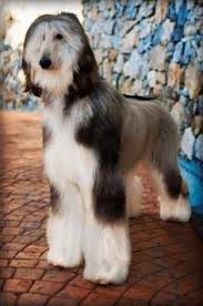 afghan hound hairstyles beautiful boy from below by sannas on deviantart afghan hound
