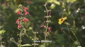 san antonio native plants backyard native plant pocket prairie john hart asher u0026 bonnie