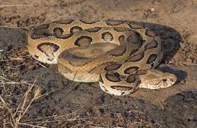 top 10 most poisonous snakes on earth