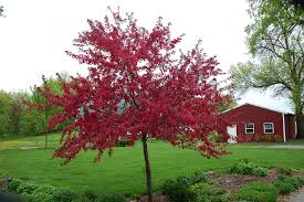 our buzzing crabapple tree just two farm