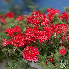 verbena flower 101455080 jpg rendition largest jpg