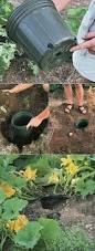 Gardening Tips For Summer - learn how to grow and care for summer squash zucchini and marrows