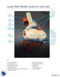 Anatomy Of Human Heart Pdf Posterior View Of Torso Heart Model Human Anatomy Handout