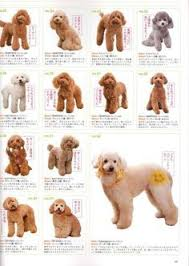 yorkie hair cut chart so cute poodle hair cuts mostly teddy bear styles poodles
