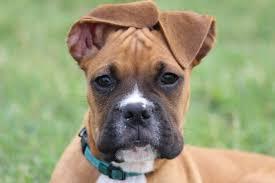 3 month boxer dog buster modern dog magazine