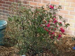 growing blackberry plants how to grow blackberries
