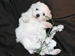 bichon frise puppy 8 weeks cuddlyk9 home of the beautiful bichon frise bichon frise puppies