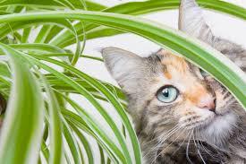 spider plant toxicity u2013 will spider plants hurt cats