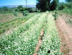 1616 cover crops planttalk coloradoplanttalk colorado