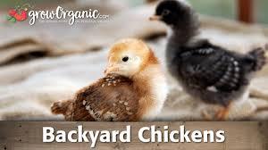Backyard Chickens 101 by Backyard Chickens Youtube