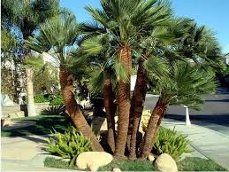 mediterranean fan palm tree golden gate palms nursery fullscreen page