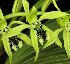 Black Orchid Flower Black Orchid Fresh Flowers Black Orchid Fresh Flowers Suppliers