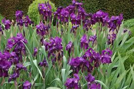 Iris by Wild Bearded Iris Landscape Architect U0027s Pages