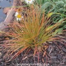 boundary nurserybuy ornamental grasses carex prairie